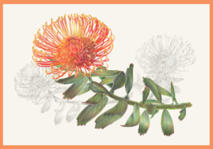 Pincushion Protea, watercolor and colored pencil on paper, © 2015 Estelle DeRidder, all rights reserved.