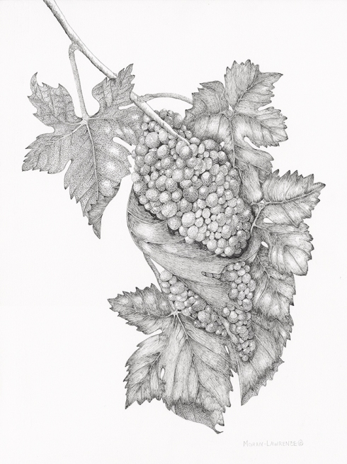 """""""Elegant Syrah,"""" © 2015, Arillyn Moran-Lawrence. Pen and ink, 13-1/2"""" x 19"""". All rights reserved."""