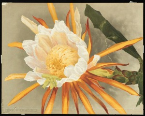 """Cereus,"" by Mrs. William Duffield, 1892. Massachusetts Horticultural Society Library, Box 9, Repros (shelf locator). Gift of Mrs. Fiske Warren, March, 1943. Permalink: http://ark.digitalcommonwealth.org/ark:/50959/0p097c160  This work is licensed for use under a Creative Commons Attribution Non-Commercial No Derivatives License (CC BY-NC-ND)."