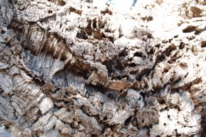 Quercus suber, Cork oak tree, close up of bark. Photo credit: © 2015, Alyse Ochniak, all rights reserved.