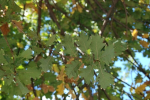 Leaves of the Quercus ruber (English Oak) outside the Botanical Ed Center. Photo credit: © 2015 Alyse Ochniak, all rights reserved.