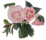 Camellia #3