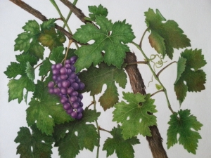 Grapes and vine, Cristina Baltayian, © 2015, all rights reserved.