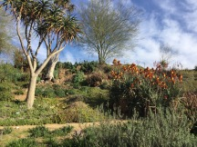 Explore the South African Garden. UC Riverside Botanic Garden. Photo: Aloe, Tania Marien, © 2016.