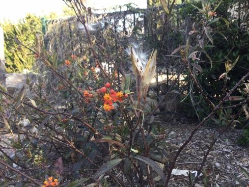 Visit the butterfly garden. UC Riverside Botanic Garden. Photo: Asclepias sp., Tania Marien, © 2016.