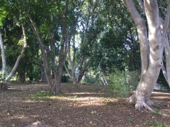 Explore the Ficus grove. UC Riverside Botanic Garden. Photo: Ficus Trees, Tania Marien, © 2016.