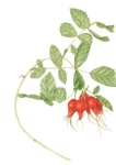 Rose Hips, Rosa californica (California Rose), Janice Sharp, colored pencil, © 2016, all rights reserved.