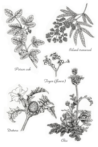 Pen and ink illustrations of California native plants by Ellie Tu, © 2016, all rights reserved.