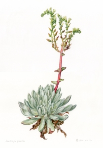 Dudleya greenei, watercolor by Ellie Tu, © 2016, all rights reserved. This plant grows in the Channel Islands National Park.