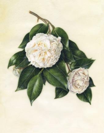 "Camellia japonica 'Hakuho', Heirloom Camellia ""Hakuho', Akiko Enokido, © 2015, watercolor on vellum."