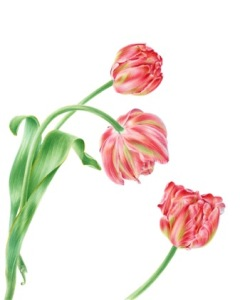 Tulipa x hybrida, watercolor by John Pastoriza-Piñol, © 2016.