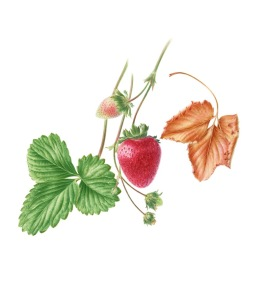 Fragaria x ananassa, Strawberry, watercolor by John Pastoriza-Piñol, © 2016.