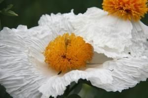 © 2016, Descanso Gardens Guild, Inc. Image information: Matilija Poppies, © Descanso Gardens.