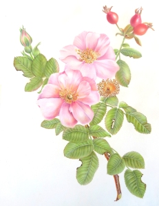 Rosa californica, California Rose, watercolor by Estelle DeRidder, © 2016.