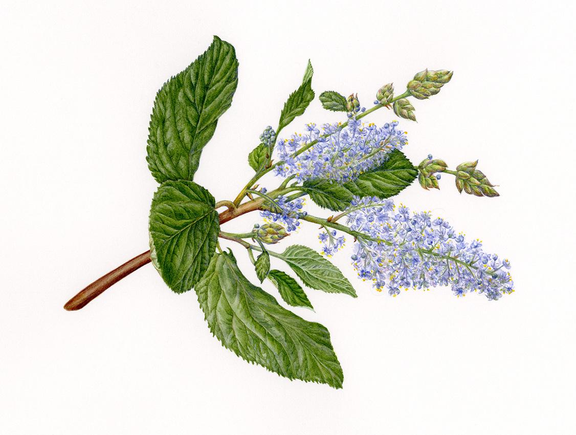 California Native Plants Bagsc News