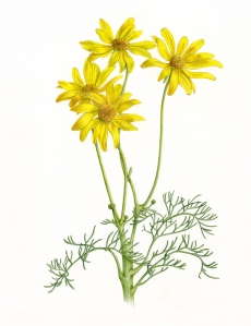 Leptosyne gigantea Kellogg, (formerly Coreopsis gigantea), Giant Coreopsis, Ellie Tu, colored pencil, © 2016, all rights reserved.