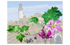 Malva assurgentiflora, the Island Mallow, Mission Mallow, Royal Mallow, Island Tree Mallow. © 2016, Estelle De Ridder. Malva Rosa is a species of flowering plant in the mallow family. It is endemic to California, where it is native only to the Channel Islands. It can also be found growing as an escapee from cultivation in coastal mainland California. This illustration was done on drafting film and paper with watercolor and colored pencil.