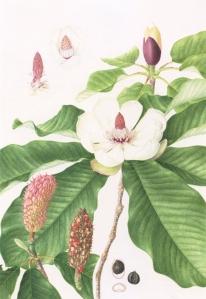 Magnolia obovata, watercolor on paper, © 2016, Mieko Konishi.