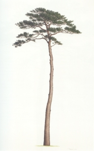 Pinus x densithunbergii, watercolor on paper, © 2016, Masumi Yamanaka.