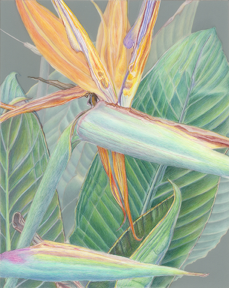 Kathie Miranda, Strelitzia spp., Bird of Paradise, colored pencil on film. © 2016.