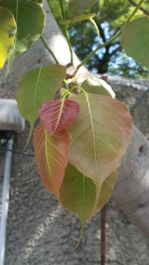 Ficus religiosa, the Bo Tree, with reddish new growth. Photo by Lesley Randall, © 2017.