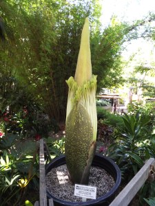 Amorphophallus titanium (Corpse Flower) getting ready to bloom at the San Diego Botanic Garden. Photo Credit: Lisa Reynolds.