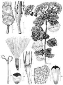 Gymnanthemum koekemoerae, © 2017 Alice Tangerini.