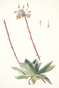 Dudleya rigida Rose, Crassulaceae, watercolor on paper by Frederick A. Walpole (1861–1904), 1897, 35.5 x 25.5 cm, on indefinite loan from the Smithsonian Institution, Hunt Institute for Botanical Documentation accession no. 4304.