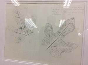 In addition to written posters describing the morphology of the Ficus species, leaf rubbings, ink prints, sketches and color studies complement the educational component of the exhibition. © 2017, Janice Sharp. Photo by Olga Ryabtsova, © 2017.