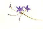 Brodiaea filifolia S. Watson, Thread-leaved Brodiaea, Deborah B. Shaw, © 2012, watercolor on Kelmscott Vellum. Image protected by Digimarc.