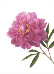 "© 2017 Mitsuko Schultz Pink Peony Paeonia lactiflora Watercolor on paper 16"" x 12"""