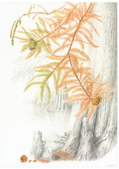 "© 2017 Akiko Enokido Swamp-Cypress Taxodium distichum Watercolor and graphite on paper 22-3/4"" x 16'"
