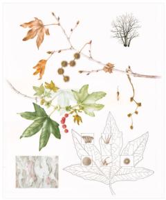 """© 2016 Deborah Friedman California Sycamore Platanus racemosa Watercolor and ink on paper 24"""" x 19"""""""