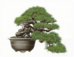 "© 2015-2017 Asuka Hishiki Black Pine Half-cascade Style Bonsai Pinus nigra Oil on paper 28-1/4"" x 36-1/2"""