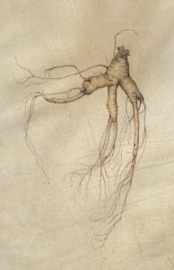 Ginseng, watercolor on vellum. Denise Walser-Kolar, © 2017, all rights reserved.