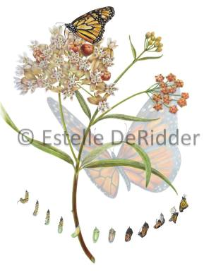 Honorable Mention, Asclepias fascicularis with Danaus, Estelle DeRidder