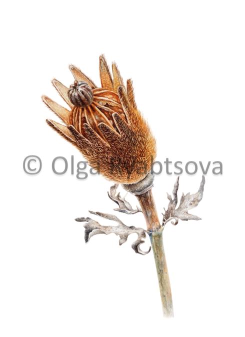 Second Place, Matjila Poppy Seedpod, © Olga Ryabtsova,www.olgaryabtsova.com