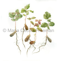 Honorable Mention, Acorn Sprouts, © Maria Cecilia Freeman, mcf-art.com