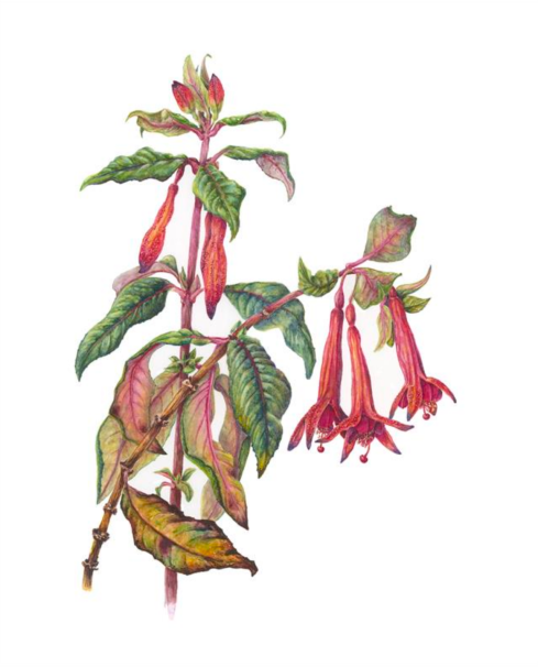 Fuchsia 'Grand Harfare' 13 x 10, Watercolor, © 2018, Catherine Dellor