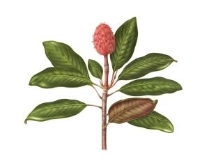 Magnolia grandiflora, gouache on paper, © Carrie Di Costanzo