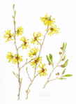 Vernal Witch Hazel (Hamamelis vernalis) 15 x 11, Watercolor, © 2018, Joan Keesey