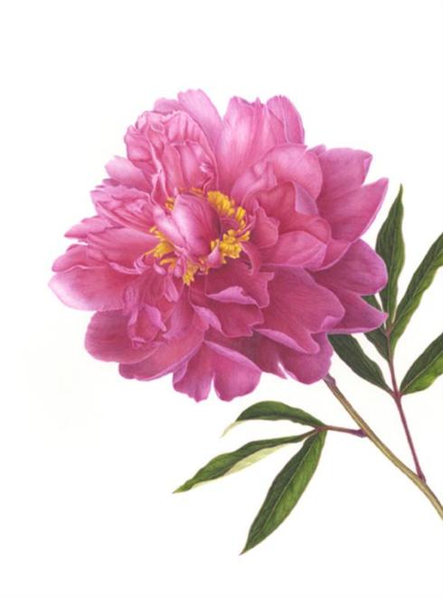 Paeonia lactiflora, Pink Peony, 16 x12, Watercolor, © 2018, Mitsuko Schultz