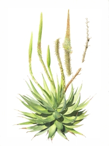 Aloe broomii hybrid, Melanie Campbell-Carter, © 2018. Image protected by Digimarc.