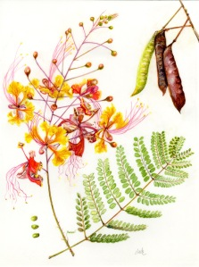 "Caesalpinia pulcherrima 'Pride of Barbados' by Jude Wiesenfeld. Watercolor on Kelmscott Vellum, 9"" X 12"", Completed March 2018."