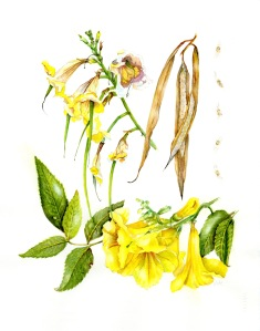 """Tacoma stans 'Yellow elder', watercolor by Jude Wiesenfeld on 140 lb. Arches 11"""" x 14"""", © 2018. Completed July 2018."""