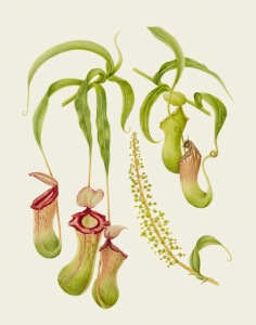 Nepenthes ventricosa Blanco, watercolor on paper, Kirsten Rindall. scalle 1:1, © 2017, all rights reserved.