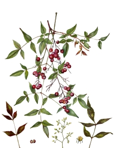 """Nandina domestica, Nandina, Sacred Bamboo, by Jude Wiesenfeld. Watercolor on 140 lb. Arches, 18.5"""" X 15"""", © 2017."""