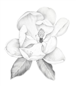 Olga Ryabtsova, Magnolia, silverpoint