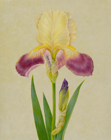 """Iris II""  Egg Tempera on Panel  17"" x 13"", Carrie Di Costanzo, © 2019, all rights reserved."