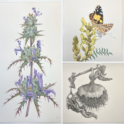 Donnett Vanek, © 2020, all rights reserved: California Thistle Sage; dry brush watercolor  Painted Lady & San Joaquin Milkvetch; dry brush watercolor  Dried Jimsonweed seed pod; graphite